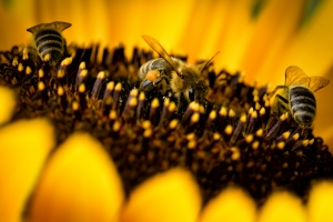 three-bees-on-sunflower-1399226-m
